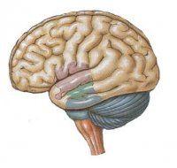 Nuovi studi sul cervello