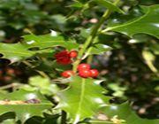 piante natalizie tossicita