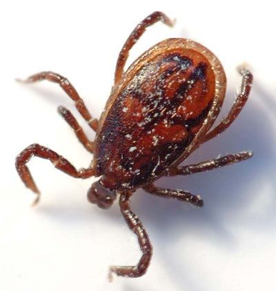 insetti trasmissione malattie