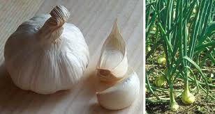 aglio, antibiotico naturale