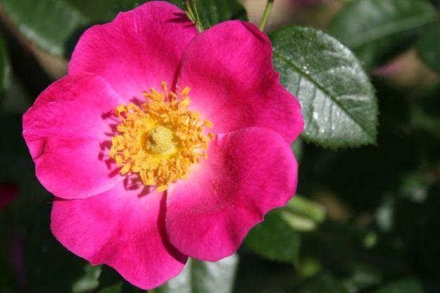 rosa canina proprieta controindicazioni