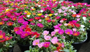 Portulaca con i loro fiori colorati