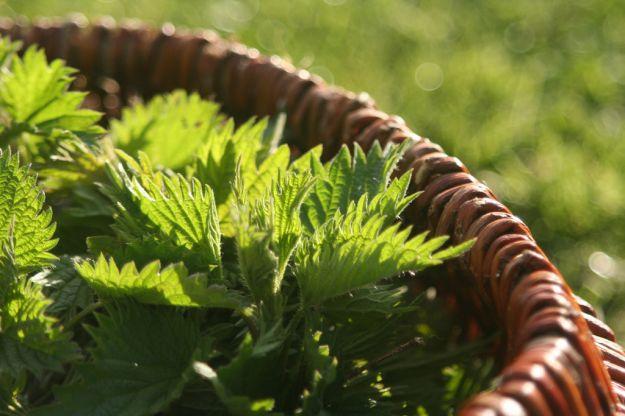 ortica pianta