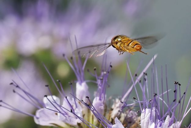 puntura di ape sintomi cosa fare rimedi naturali