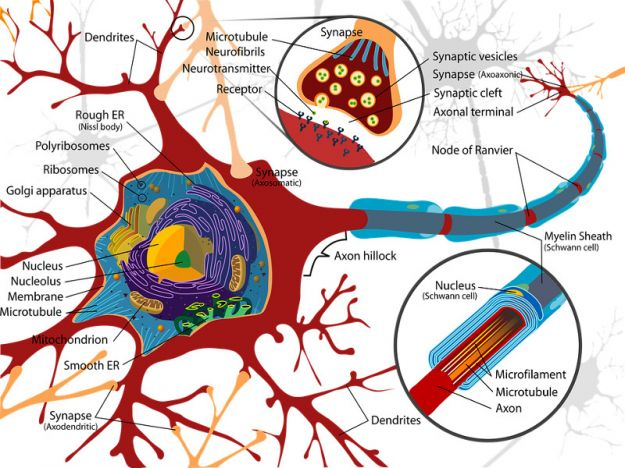 Sistema nervoso midollo