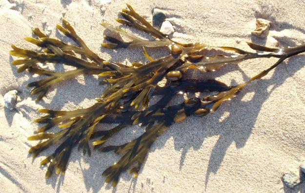 Alga bruna o fucus per dimagrire proprietà e controindicazioni