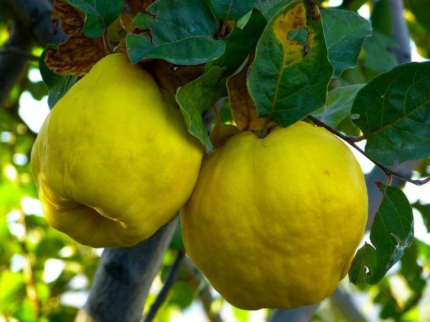 mela cotogna proprietà valori nutrizionali