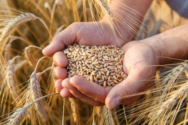 caratteristiche grano e frumento