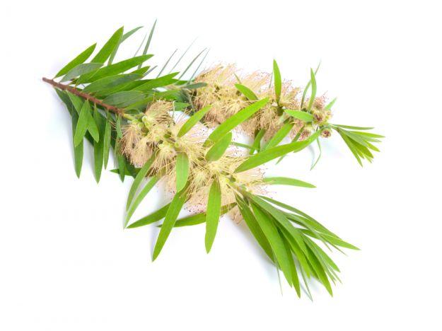 niaouli melaleuca olio essenziale
