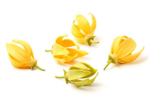 ylan ylang olio essenziale